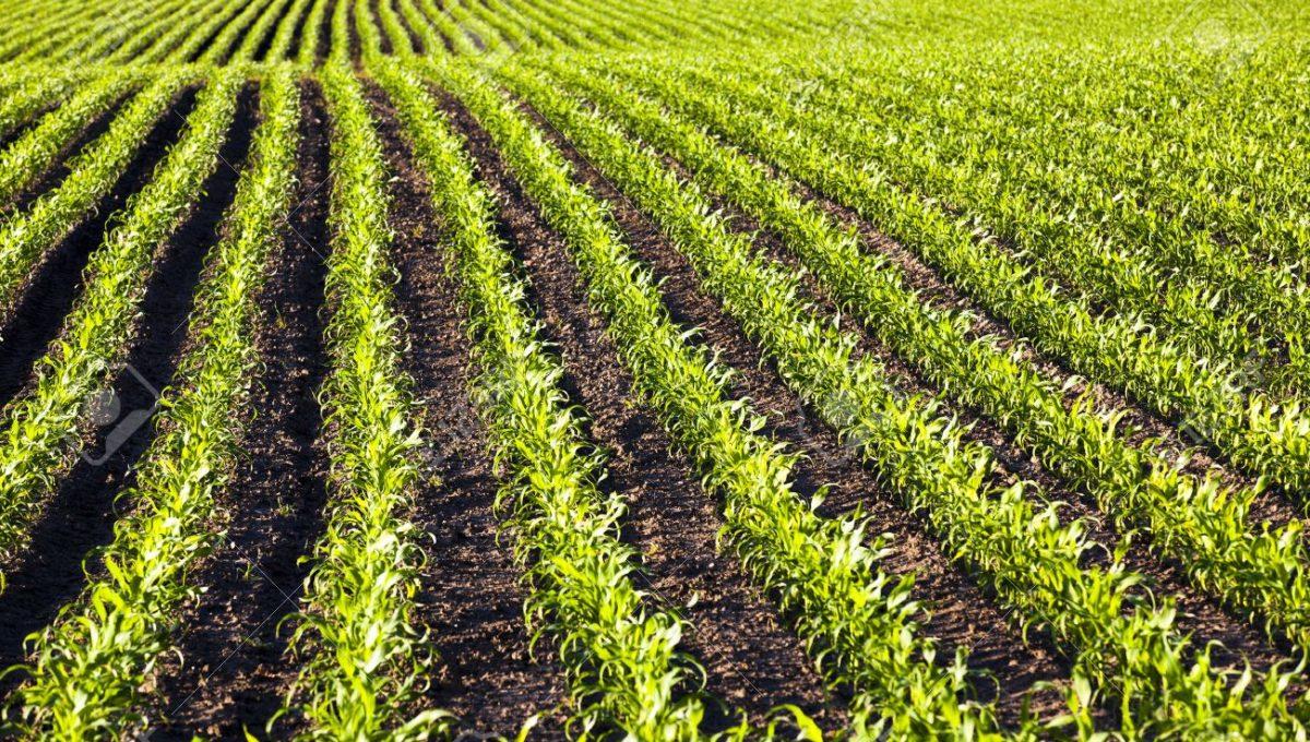42484872-un-campo-agrícola-en-la-que-crecen-maíz-tierno